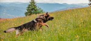 Hund beim Jagen_Waldeck