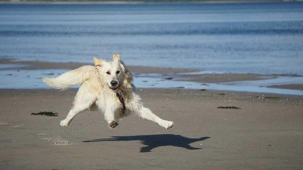 Hundestrände Nordsee_weißer Hund tobt am Strand