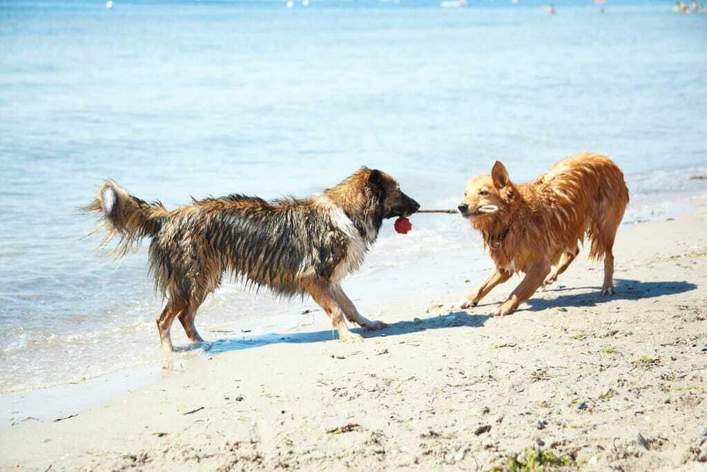 Zwei tollende Hunde am Ostseestrand Luebecker Bucht