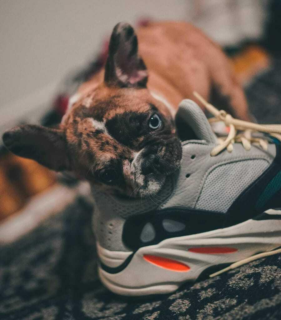Hund_beißt_in_Schuh_Hundehaftpflichtversicherung