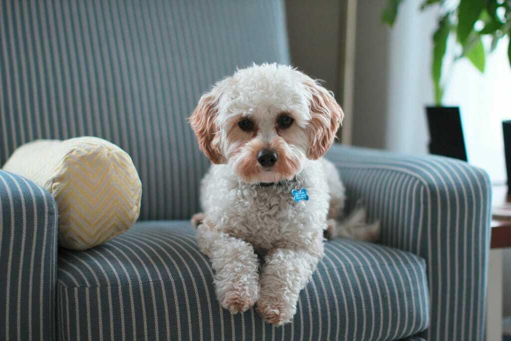 Hundehaftpflichtversicherung Hund Sessel Kissen