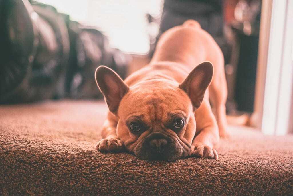Hundehaftpflichtversicherung Hund traurig Teppich Urlaub