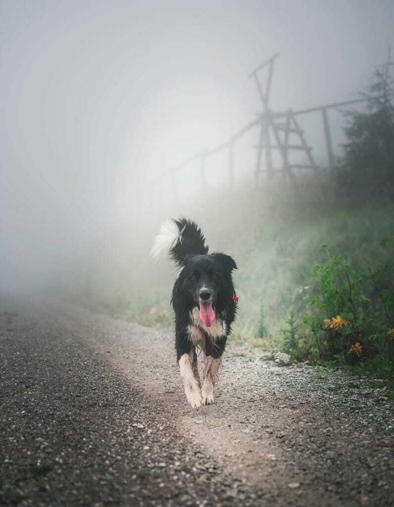 schwarzweißer Hund auf Wanderweg_Wandern mit Hund