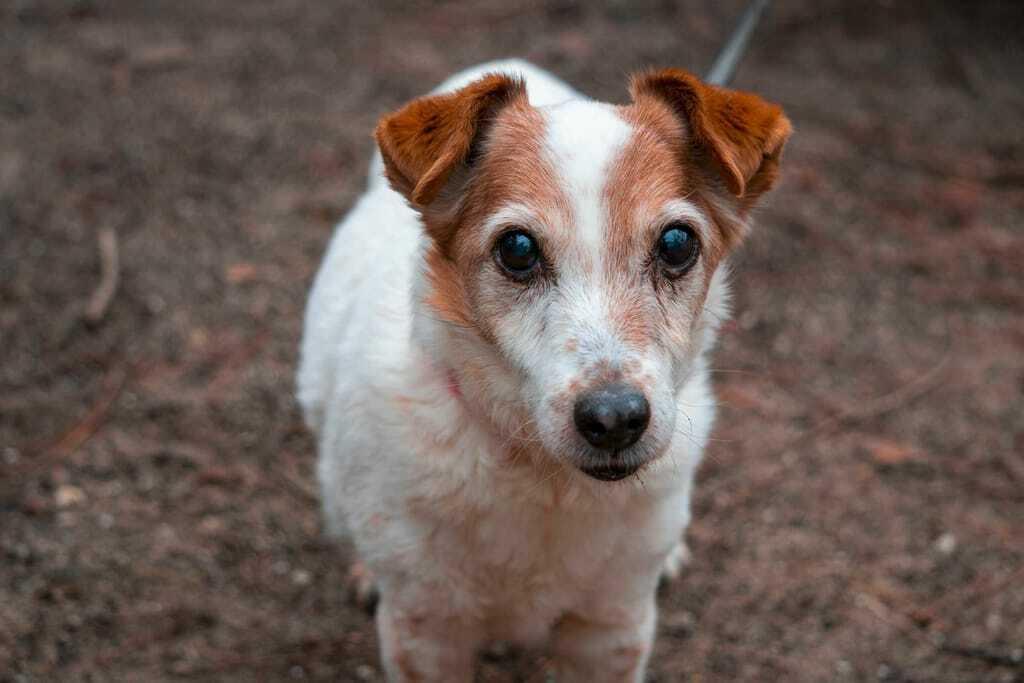 Jack Russel Terrier von oben_Wandern mit Hund