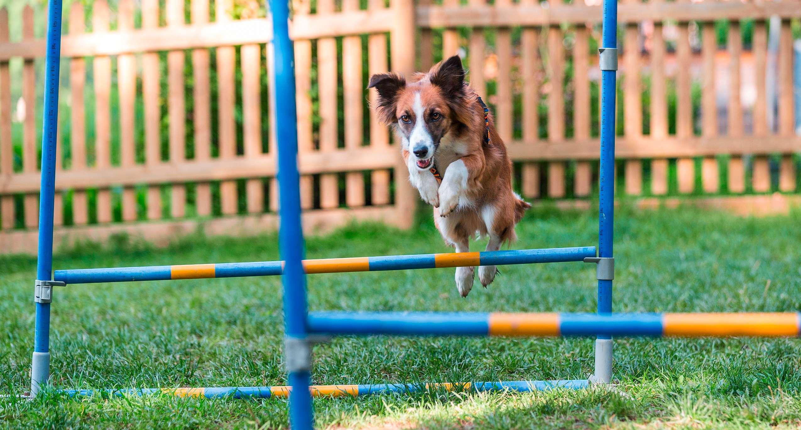 Hund-springt-durch-einen-Hindernisparkour
