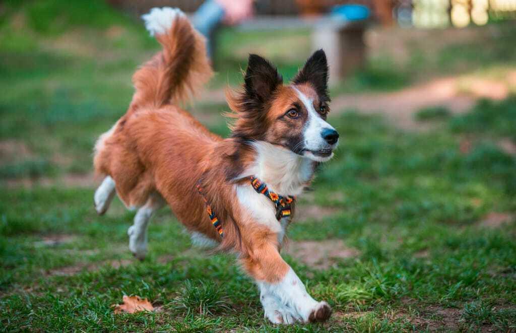 rennender Hund