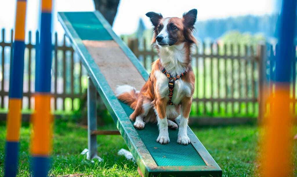 Hund sitzt beim Hundetraining im Hotel Almfrieden auf Wippe