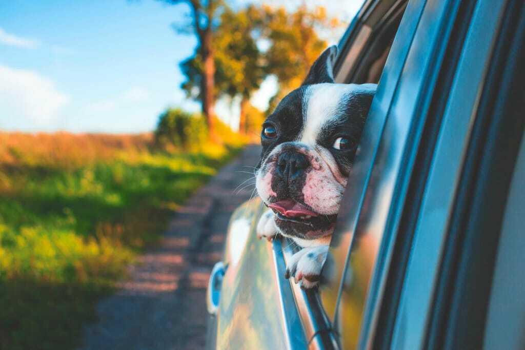Eine Bulldogge hängt den Kopf aus dem Autofenster